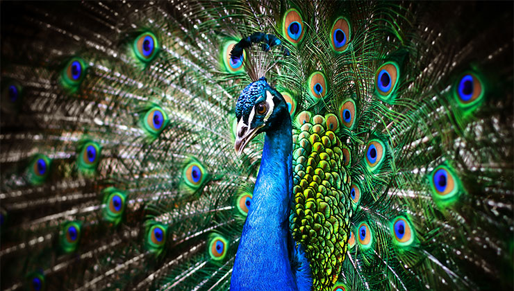 god images peacock