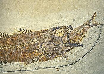 evidence flood rapid fossils