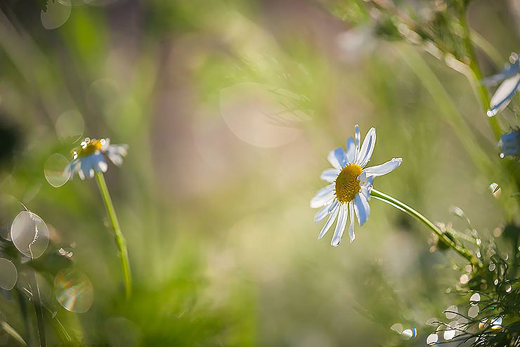god images photos pictures beautiful daisy