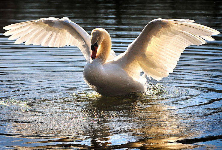 god images swan